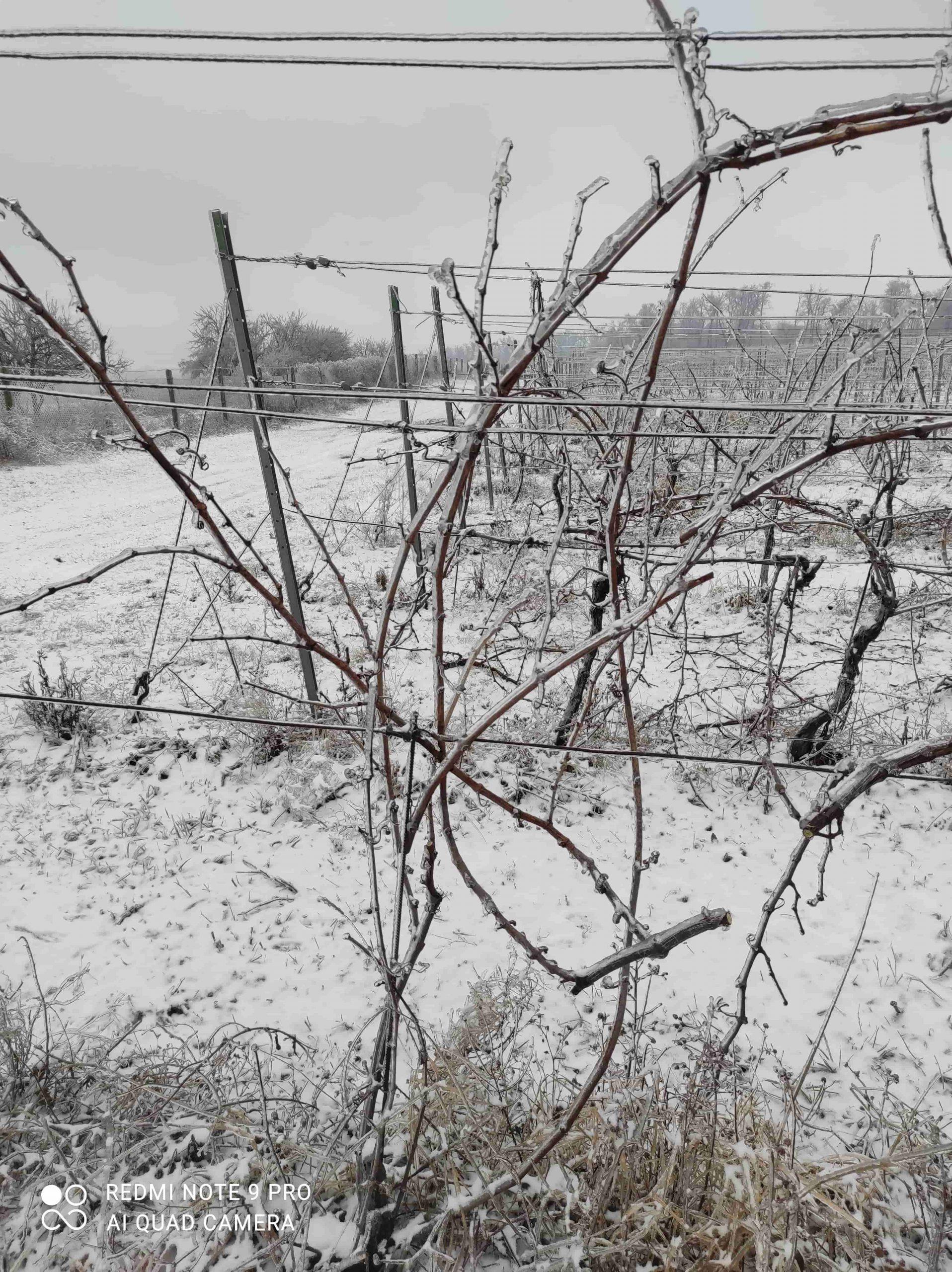 vinohrad12_Vinarstvo Kopecek-min