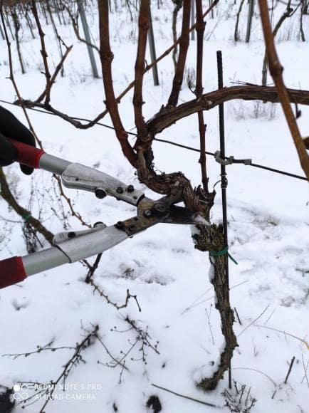 vinohrad2_Vinarstvo Kopecek-min