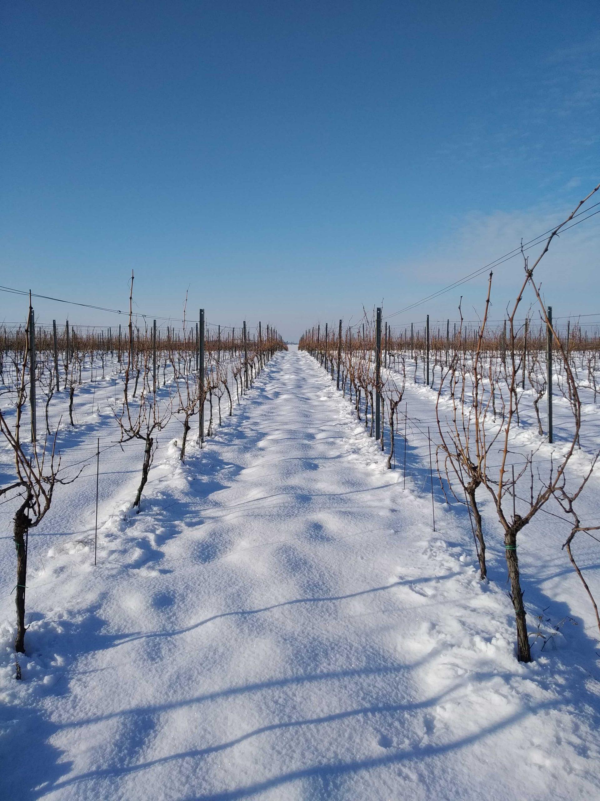 vinohrad7_Vinarstvo Kopecek-min