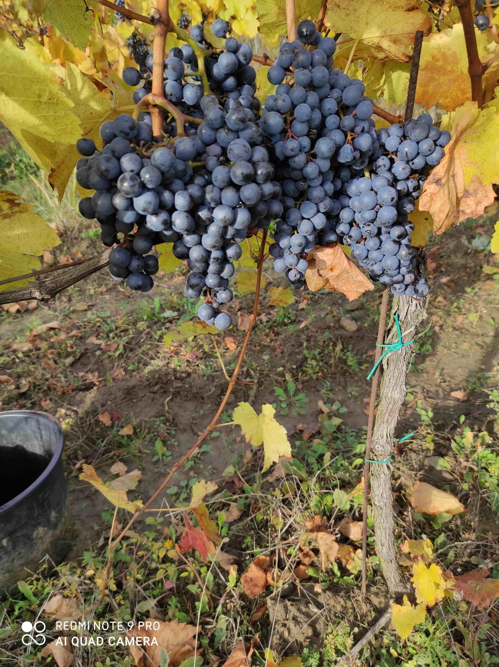 vinohrad8_Vinarstvo Kopecek-min