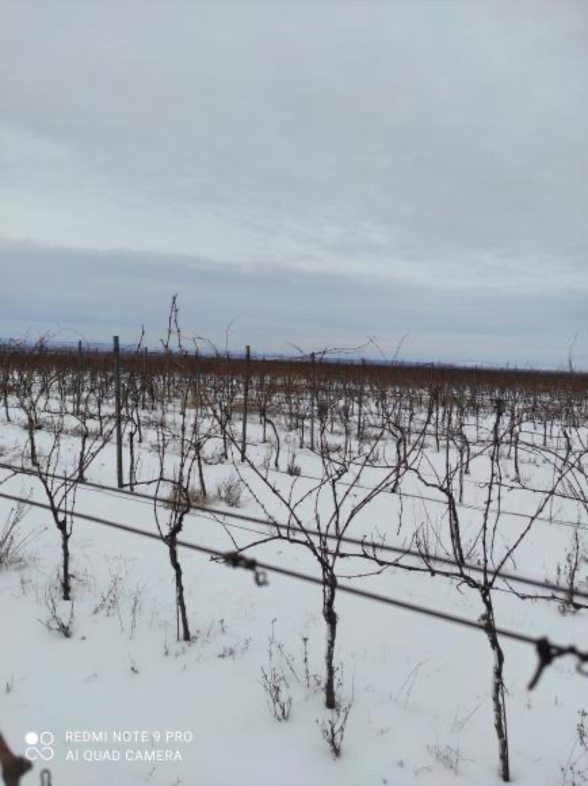 vinohrad_Vinarstvo Kopecek